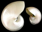 Nautilus Sea Shell - Natural or Pearl